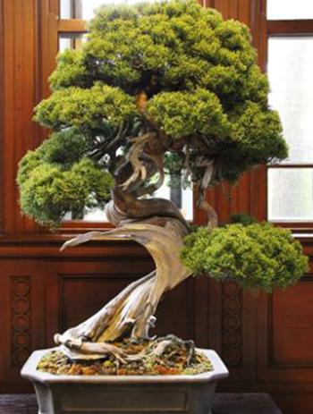 Cây bách xù quý hiếm 400 năm tuổi, có giá hơn 10 triệu yen (90.000 USD) nằm trong số bonsai bị trộm. Ảnh: CNN