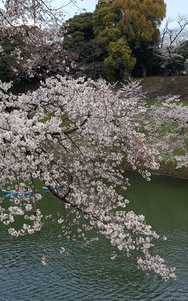 Hoa anh đào ở Nhật Bản