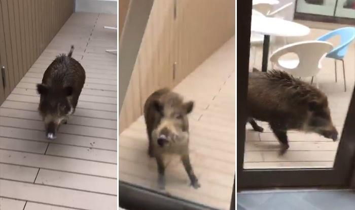 Lợn rừng từng làm náo loạn các khu phố