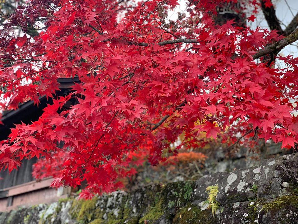 Một tán của cây phong lá đó - trời thu Nhật Bản